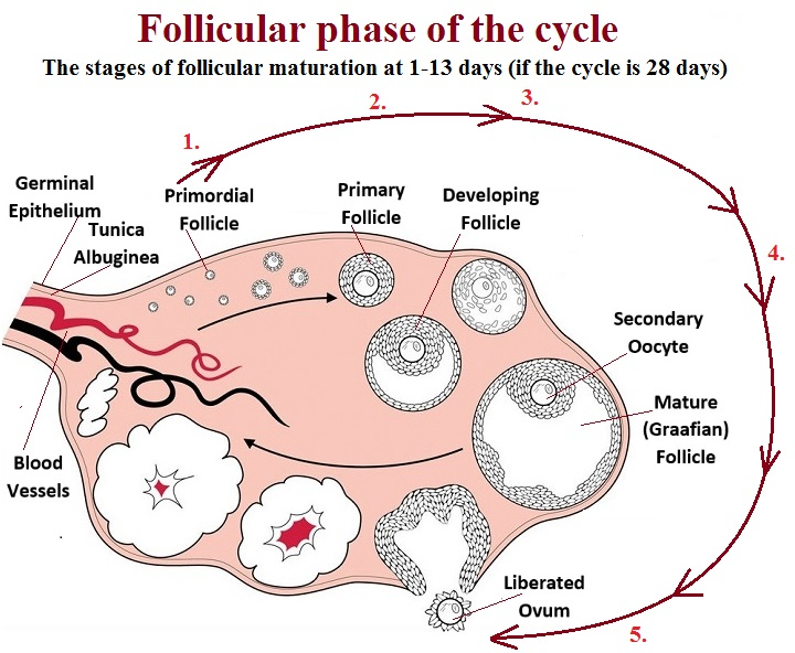 The follicular phase - various stages of the follicle's development at a woman