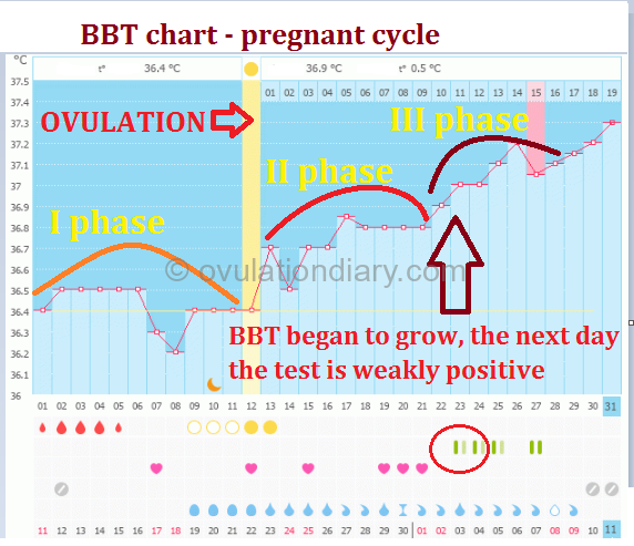 Determination of pregnancy according to a basal body temperature chart - the third phase in the cycle