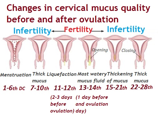 Discharge during ovulation, before and after