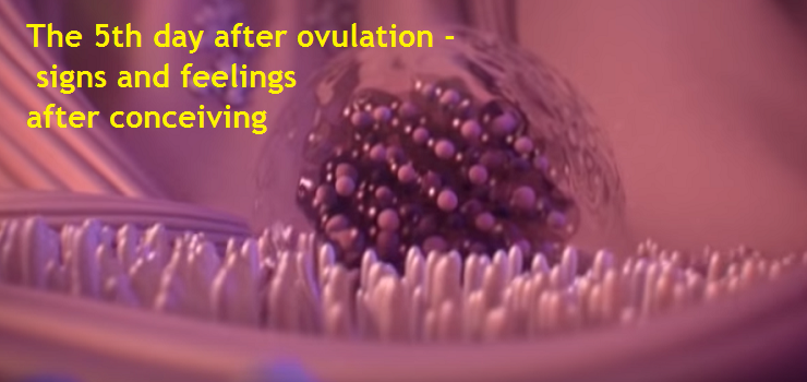 The 5th day after ovulation. What happens to a fertilized egg. Signs and feelings after conceiving.
