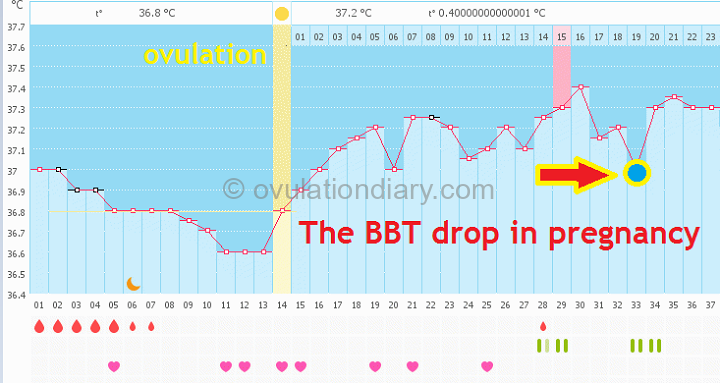 The drop in the BBT for 1 day with confirmed pregnancy on the basal body temperature chart.
