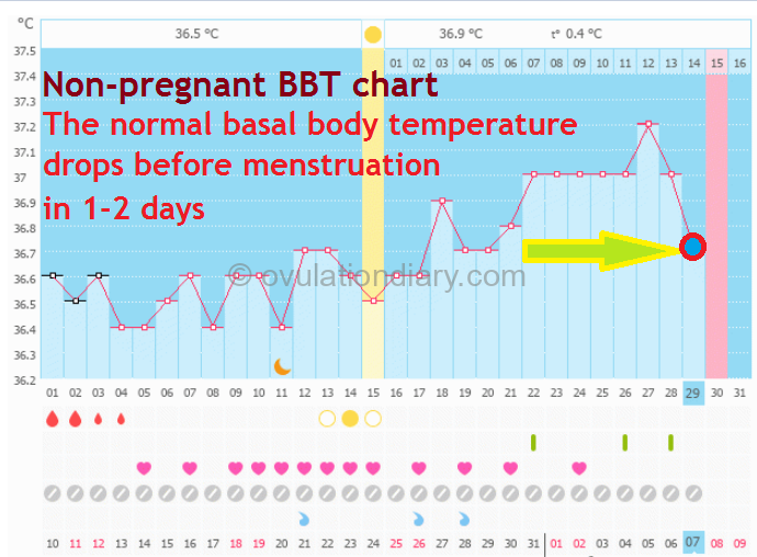 The normal basal body temperature drops before menstruation in 1-2 days on the basal body temperature chart.