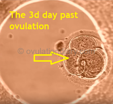 on the 3 DPO, thefertilized egg is divided into 4 cells