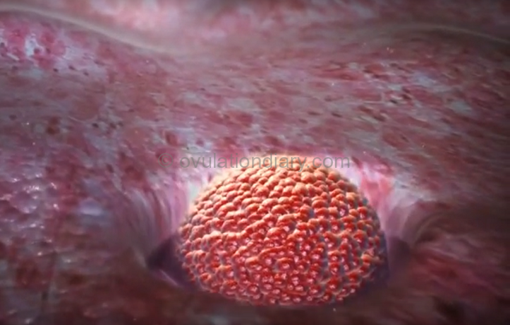 The zygote is introduced into the uterus – it is implanted on the 7-10th day after ovulation